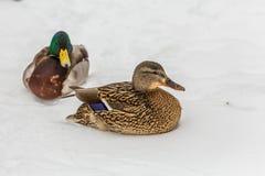 O pato selvagem ducks na neve no parque da cidade Dia de inverno fotografia de stock