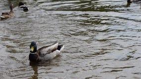 O pato selvagem ducks a natação na água da lagoa do verão que tem o divertimento video estoque