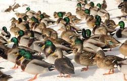 O pato selvagem ducks o fundo Imagens de Stock Royalty Free