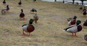 O pato selvagem ducks o passeio na grama marrom no parque vídeos de arquivo