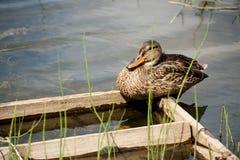 O pato selvagem está sentando-se em uma plataforma de madeira Imagem de Stock Royalty Free