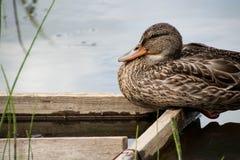 O pato selvagem está sentando-se em uma plataforma de madeira Imagens de Stock