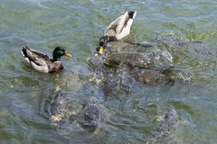 O pato selvagem masculino Ducks a competência com os peixes da carpa para o alimento Imagens de Stock