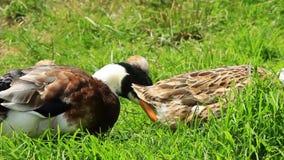 O pato selvagem, ou pato selvagem vídeos de arquivo