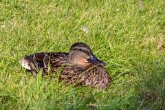 O pato selvagem que descansa no sol do verão iluminou a grama Foto de Stock