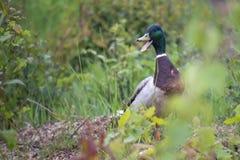 O pato selvagem vem no banco descansar fotografia de stock