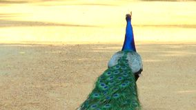O pavão anda longe da câmera vídeos de arquivo