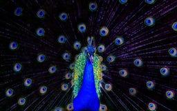 O pav?o bonito faz sua exposi??o de penas coloridas fotos de stock royalty free