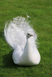 O pavão branco encontra-se na grama verde do atalho Imagem de Stock Royalty Free