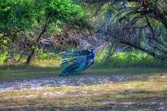 O pavão com propagação lindo as penas coloridas mostra sua cauda para sua senhora do pavão no Yala Nationalpark Imagens de Stock