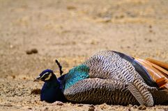 O pavão encontra-se na terra Foto de Stock Royalty Free