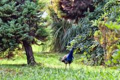 O pavão está no arboreto de Sochi Fotografia de Stock