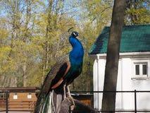 O pavão está sentando-se no ramo no jardim zoológico imagens de stock