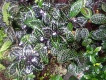 O pavão Ginger Plants tem as folhas variegated bonitas e flores claras da alfazema Imagens de Stock