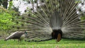 O pavão masculino dança na frente da fêmea video estoque