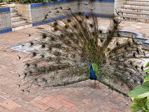 O pavão no Jardim Marechal Carmona jardina em Cascais Portugal Imagem de Stock Royalty Free