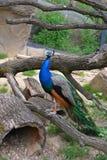O pavão nobre fora Imagens de Stock