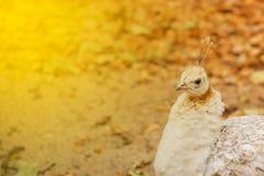 O pavão pequeno e um brilhante aquecem o fulgor do sol imagens de stock royalty free