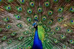 O pavão que mostra fora empluma-se Fotografia de Stock