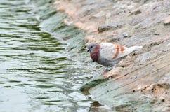 O pegion que olha ao rio Imagem de Stock Royalty Free