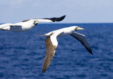 O peito das caraíbas gulls o voo altamente fotografia de stock royalty free