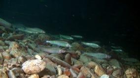 O peixe da truta incandesce debaixo d'água no córrego da água de Lena River em Rússia filme