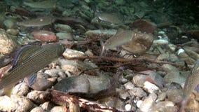 O peixe da truta incandesce debaixo d'água no córrego da água de Lena River em Rússia video estoque