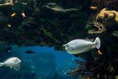 O peixe do cirurgião do unicórnio nada no habitat reconstruído foto de stock