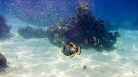 O peixe do disparador que mostra o é perigo fotografia de stock royalty free
