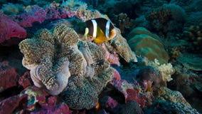 O peixe do palhaço está escondendo na anêmona de mar do anfitrião, Stillphoto animado video estoque