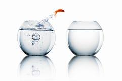 O peixe dourado salta Fotografia de Stock