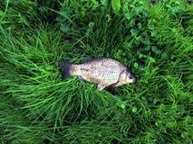 O peixe encontra-se na grama verde Crucian travou no rio pesca foto de stock