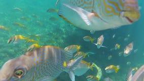 O peixe engraçado do mundo subaquático olha a câmera filme