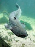 O peixe-gato (Silurus Glanis). Imagens de Stock