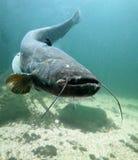 O peixe-gato (Silurus Glanis). Fotografia de Stock