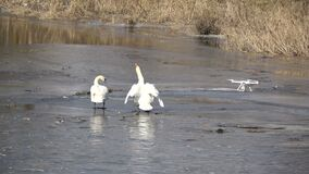 O película do zangão toma as cisnes brancas dos pares da foto no gelo do rio da mola vídeos de arquivo