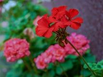 O Pelargonium é um gênero de plantas de florescência que inclua aproximadamente foto de stock