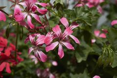 O Pelargonium floresce o close up foto de stock