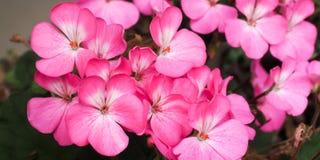 O Pelargonium floresce cor-de-rosa e branco brilhantes Fotos de Stock Royalty Free