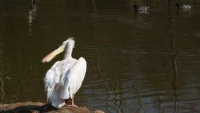 O pelicano branco video estoque
