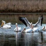 O pelicano branco com asas abre imagem de stock