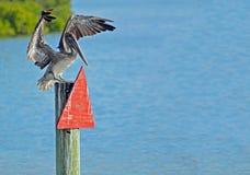 O pelicano de Brown com asas espalhou estar no marcador do canal imagens de stock royalty free