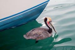 O pelicano de Califórnia Brown na fase da criação de animais colore a natação no porto de Cabo San Lucas em Baja California Méxic fotos de stock