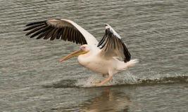 O pelicano desce à superfície da água Foto de Stock