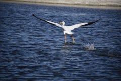 O pelicano descola Imagens de Stock