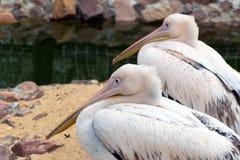 O pelicano dois cor-de-rosa (pássaros brancos) com bicos longos senta-se perto do wate Imagens de Stock Royalty Free