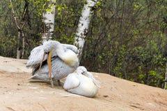 O pelicano dois (pássaros brancos) com bicos longos senta-se perto da água e Foto de Stock