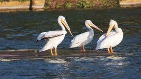 O pelicano em Xochimilco Fotografia de Stock Royalty Free