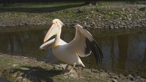 O pelicano está com penas estendido Imagens de Stock Royalty Free