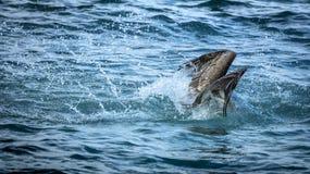 O pelicano está espirrando no mar ao caçar Imagem de Stock